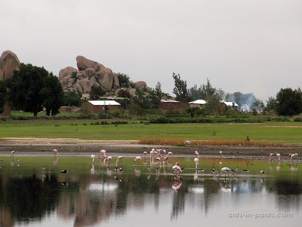 Flamingo in Singida