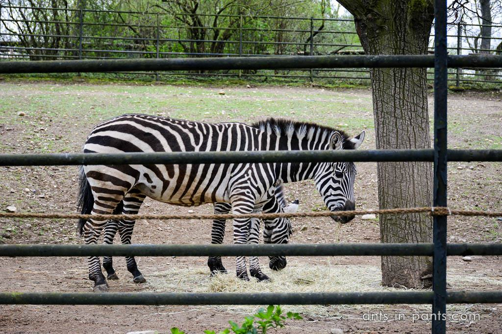 Prague-zoo-zebra