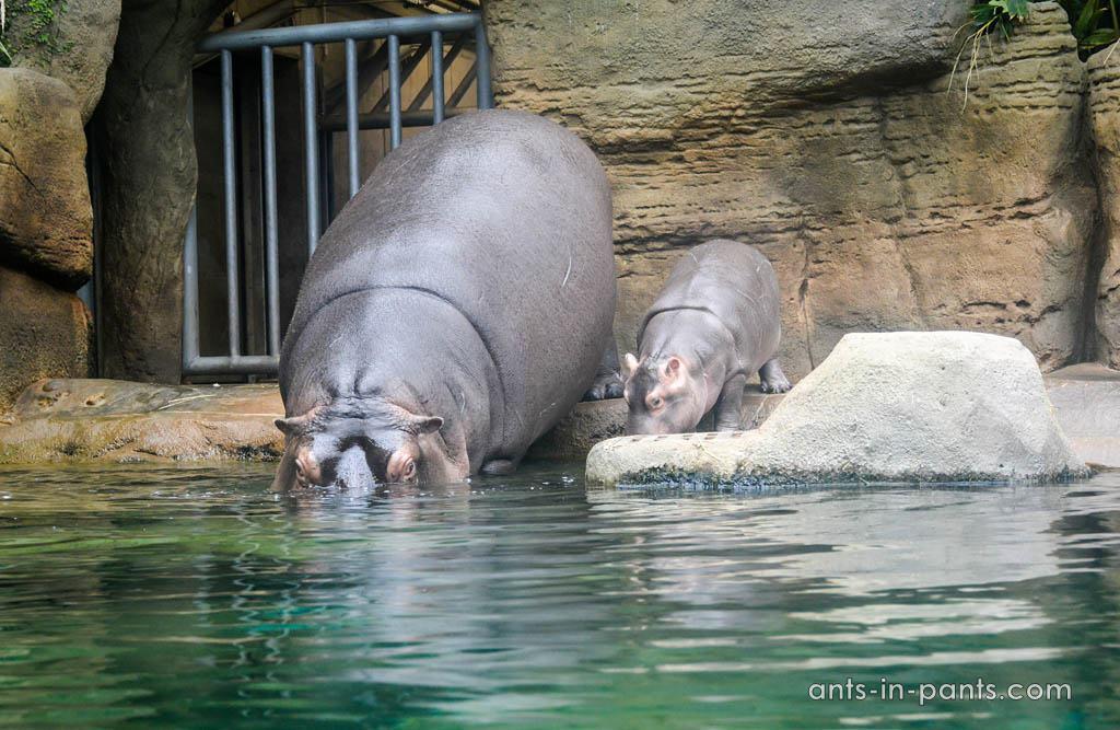 Prague-zoo-hippos