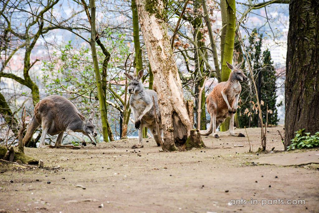 Prague-zoo-kangaroo