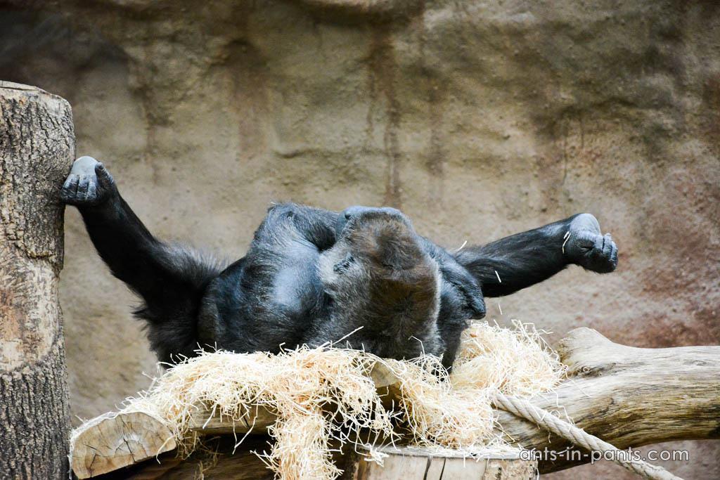 Prague-zoo-gorillas