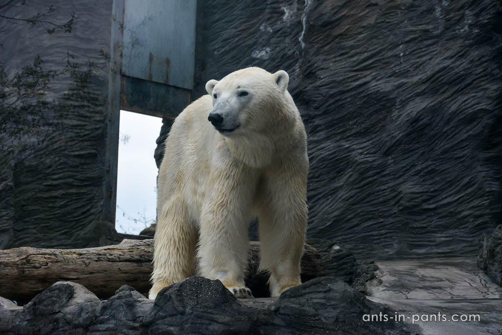 Том и Берта – белые медведи
