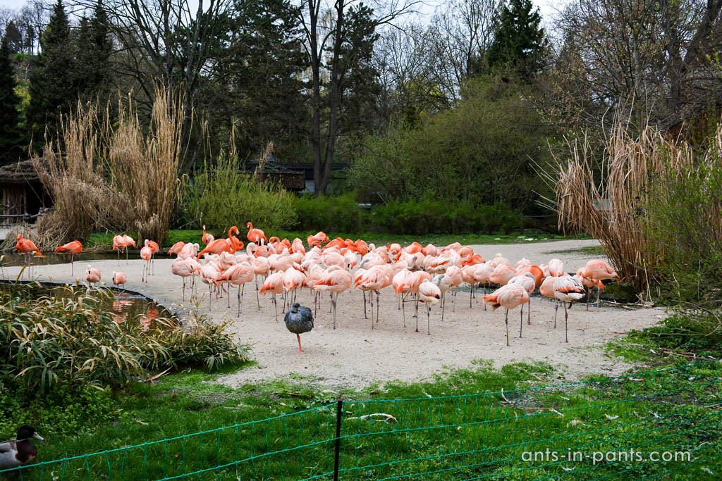 Prague-zoo-flamingos