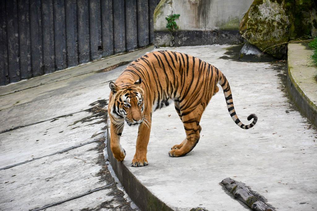 Prague-zoo-tiger