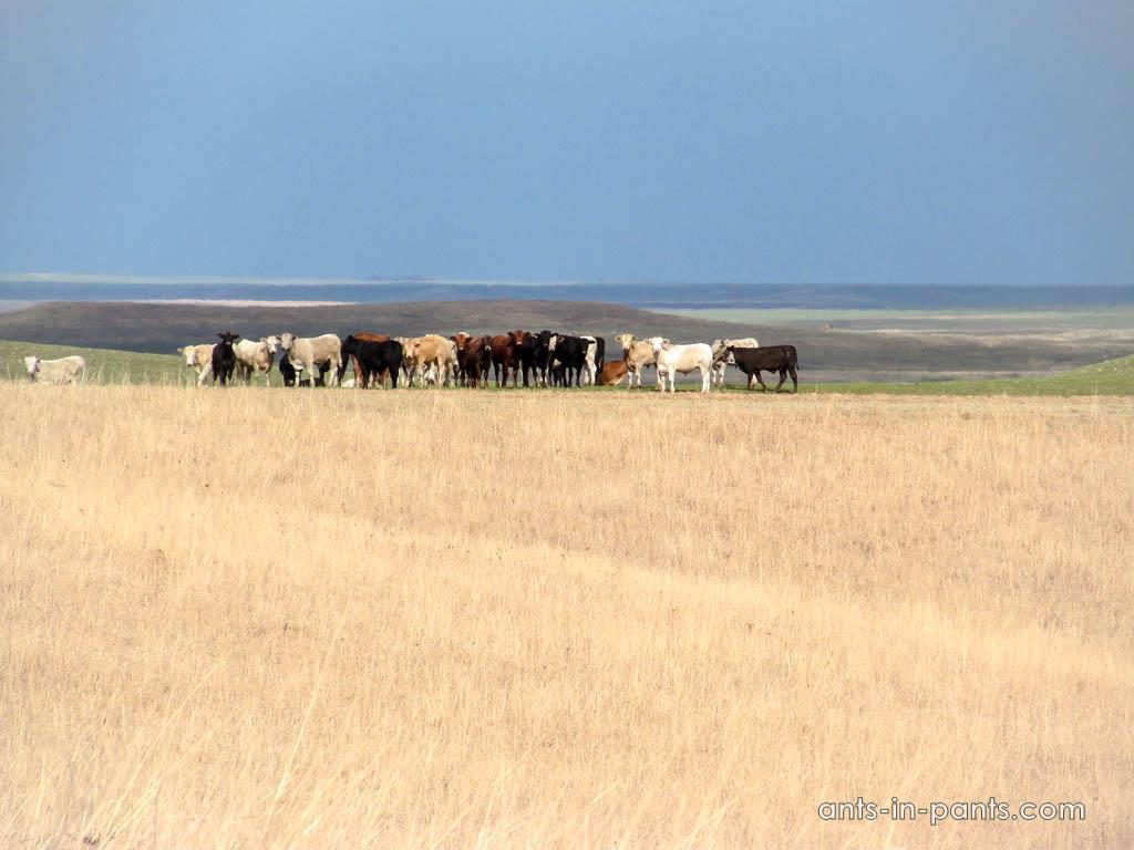 Tallgrass bulls