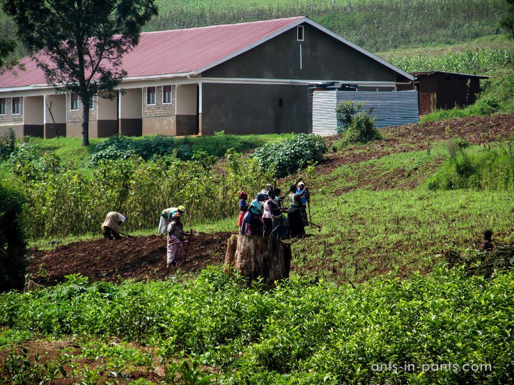 Чайные плантации в Уганде