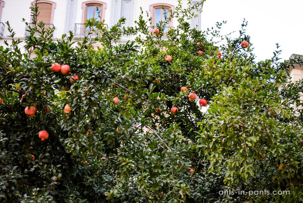 pomegranates in Granada