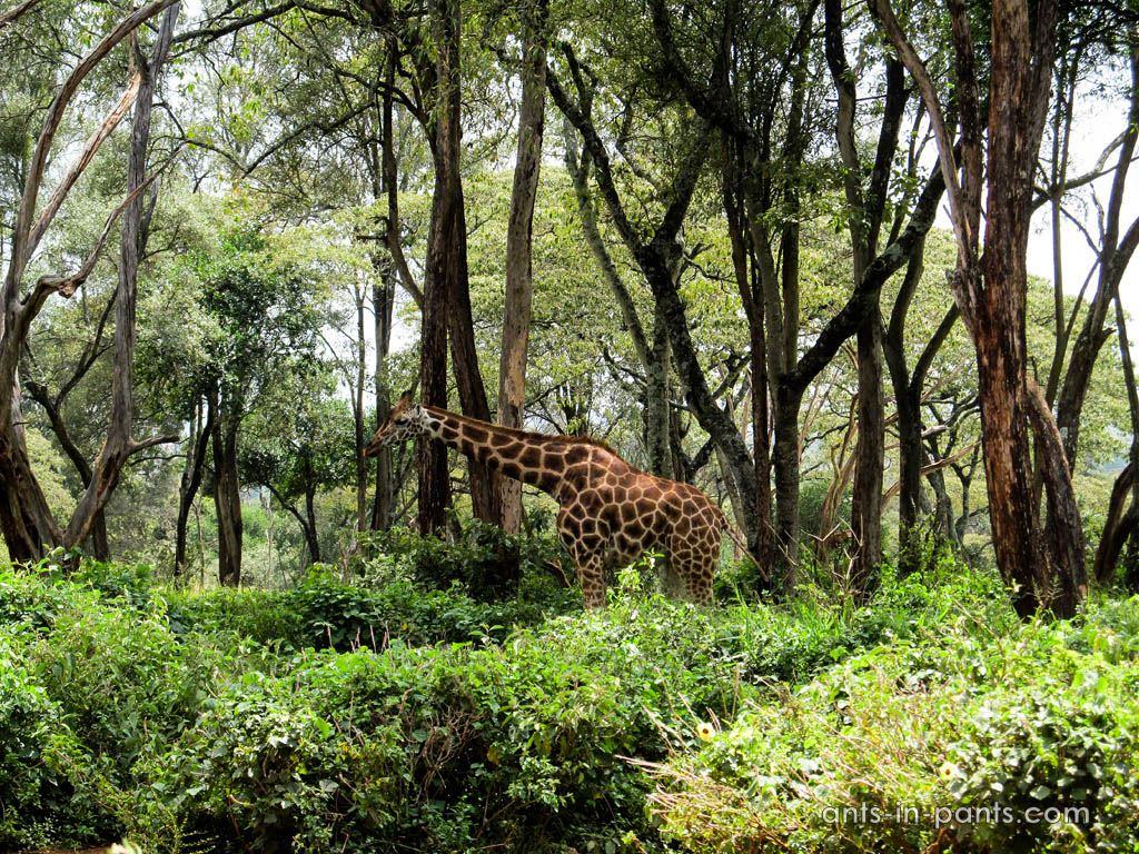 Giraffe farm