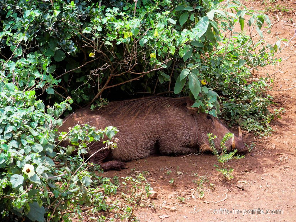 warthogs in Kenia