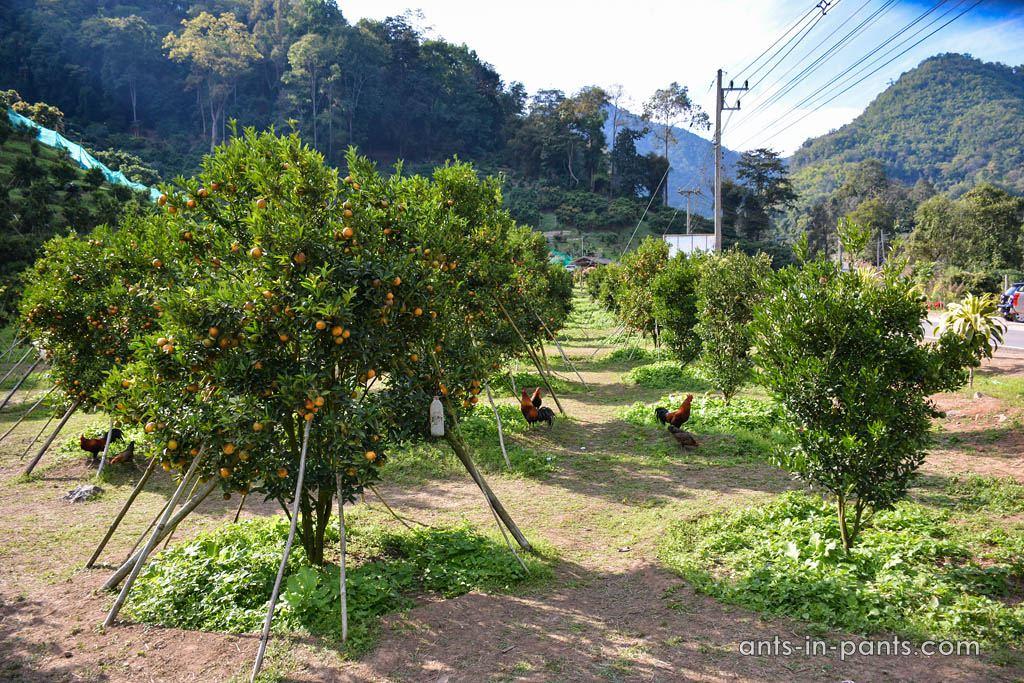 плантации Таиланда