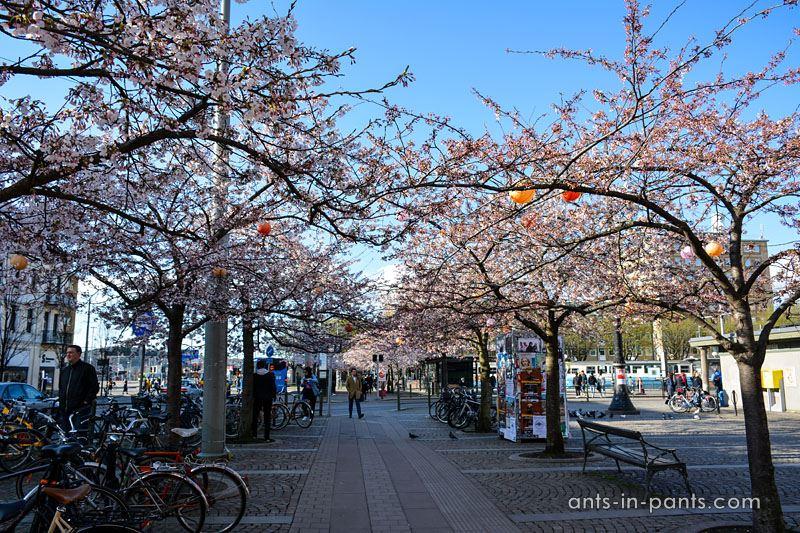 cherry trees bloom